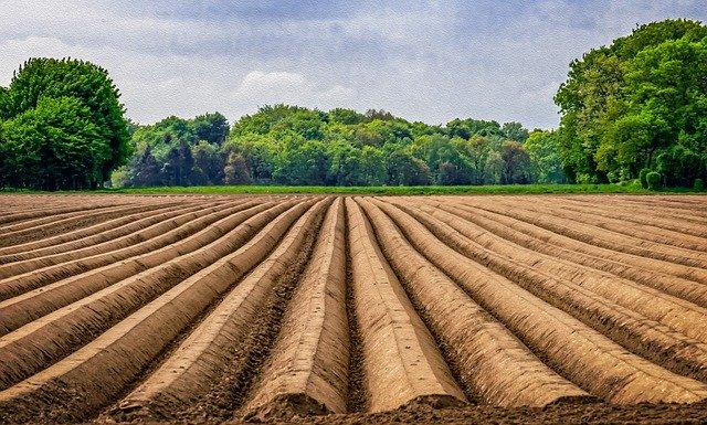 pěstování shatavari na poli